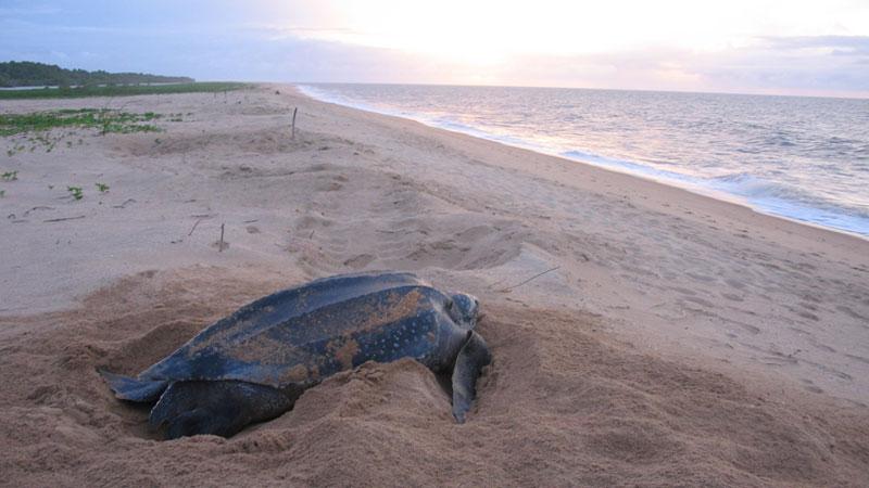 2015-08-12 Turisterna bra för hotade sköldpaddor